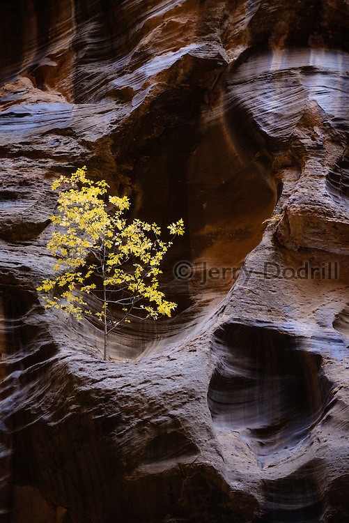 A lone tree lives in a hueco high on the canyon wall in the Wall Street section of the Virgin River Narrows, Zion National Park, Utah