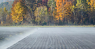 Florida, New York -  After a cold night, mist rises from Black Dirt fields in the morning sunlight on  Oct. 18, 2012.