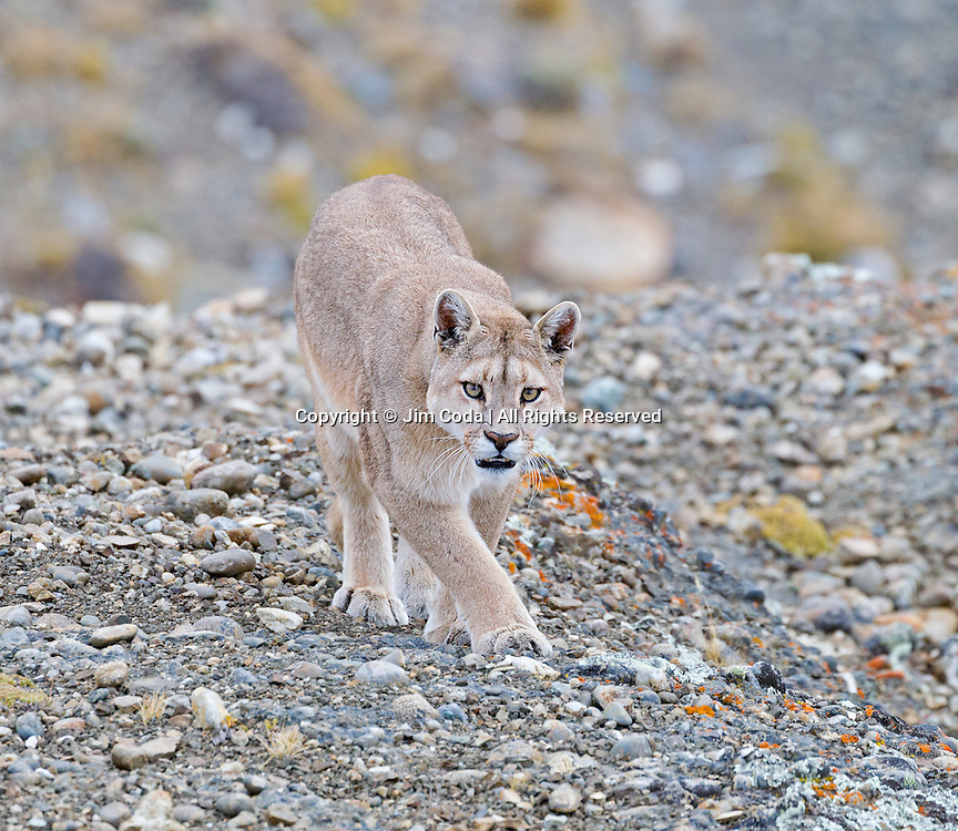 A female puma walks toward the camera in Torres del Paine National Park.
