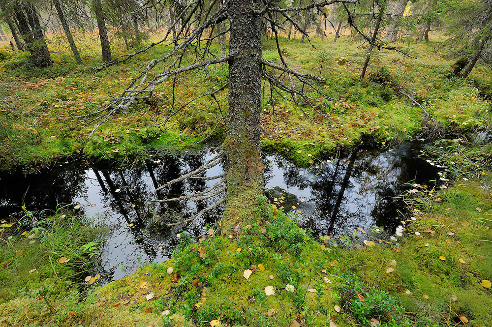 Yli-Vuokki old forest reserve in Suomussalmi, Finland.