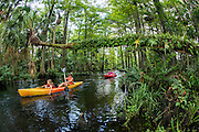 Kayakers on the Loxahatchee River in Jupiter, Florida, United States, a nearly 8-mile river that flows into the Atlantic Ocean and was designated a National Wild & Scenic River in May 17, 1985. Image available as a premium quality aluminum print ready to hang.