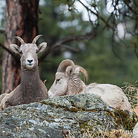 big horn sheep ewe beded