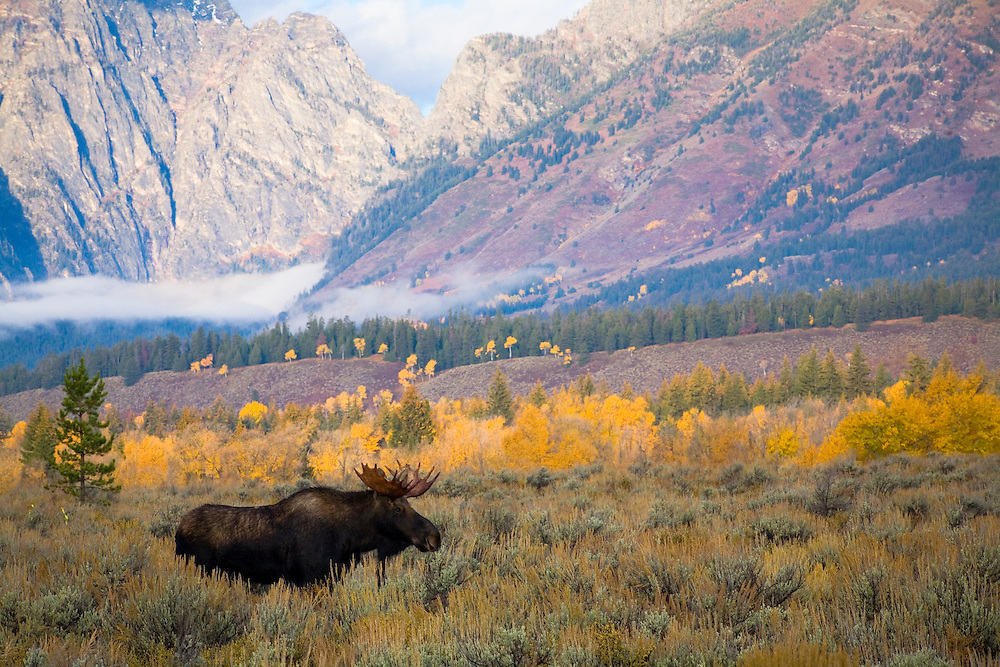 Moose Among Mountains - Moose - Grand Teton National Park, Wyoming: The moose is the largest member of the deer family. The male moose's antlers arise as cylindrical beams projecting on each side. Edition on 500.