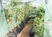 Tomato plants growing in plastic greenhouse tent, Shottisham, Suffolk, England, UK