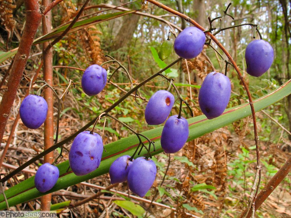 Wild purple seed pods or fruits, Cape Raoul, Tasman National Park, Tasmania, Australia.