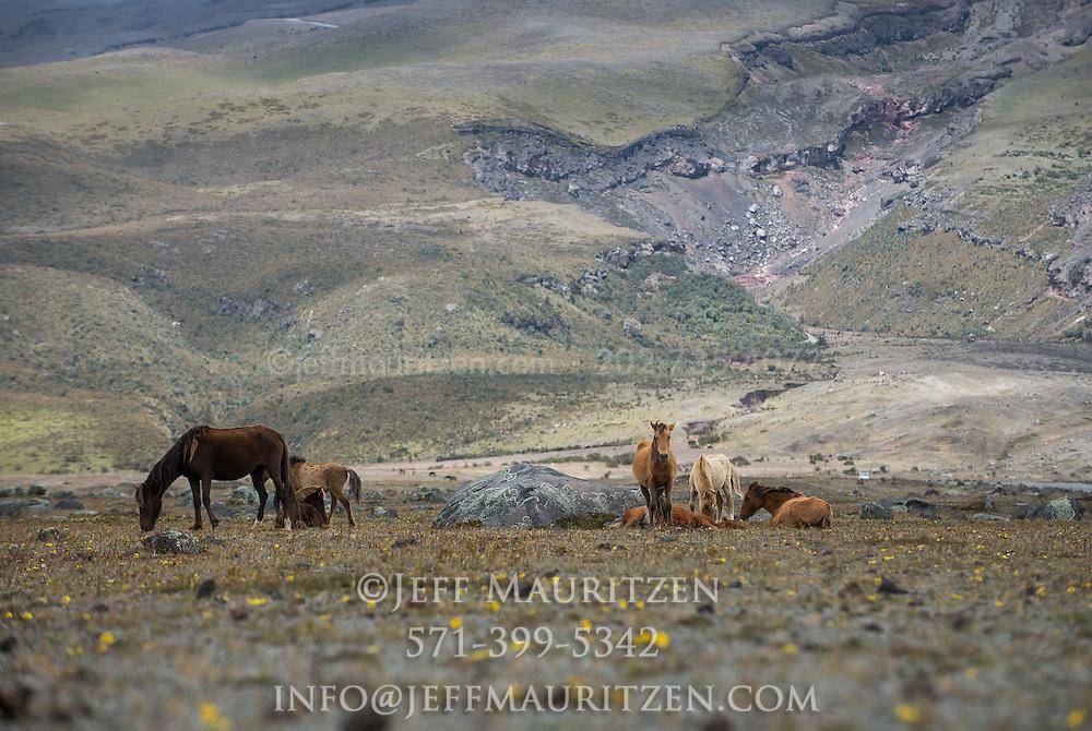 Wild horses graze in the sparse Paramo grasslands that surround Cotopaxi Volcano in Ecuador.