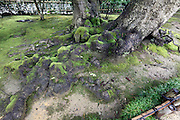 very old long tree roots in the Kenrokuen garden at Kanazawa Japan