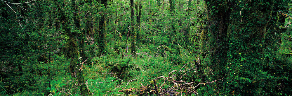 Evergreen Temperate Forest , Hornopiren , Patagonia , Chile