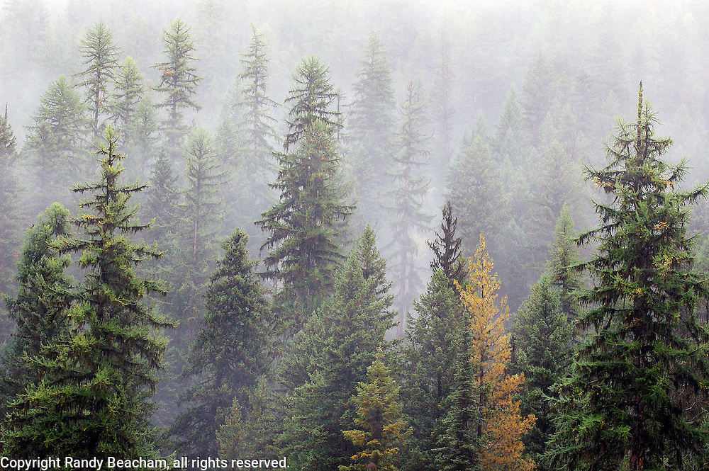 Old-growth western larch forest during rainstorm. Kootenai National Forest in the Purcell Mountains, northwest Montana.