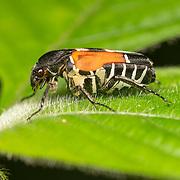 Taeniodera malabariensis simillima, Scarabaeidae Beetle. Kaeng Krachan National Park, Thailand.