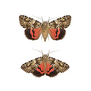 Light Crimson Underwing - Calocala promissa
