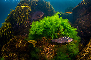 Lettuce algae light up with the sun in shallaw water, with a black angelfish and a banded wrasse off Arid Island. New Zealand