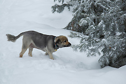 Shepard Mix dog smelling a pine tree covered in snow