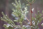 Great spotted woodpecker (Dendrocopus major) in pine woodland in winter, Scotland.
