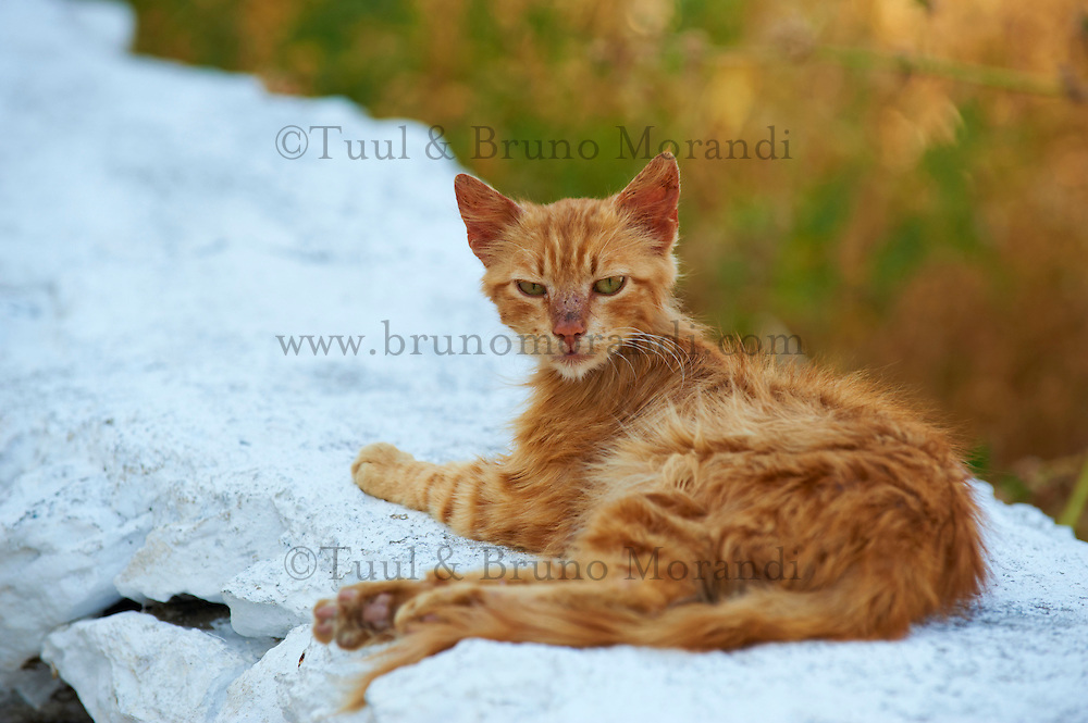 Grece, Cyclades, Santorin, chat des rues. // Greece, Cyclades, Santorini, street cat
