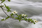 Dogwood Collection