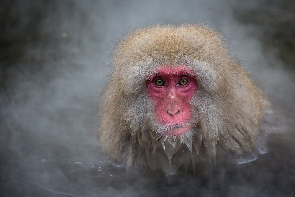 A snow monkey (Macaca Fuscata) bathes in a hot spring. Over the years, the snow monkeys at Yudanaka have grown accustomed to the hot springs and will bathe and rest in the hot water for warmth.
