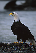 Bald Eagle, Chilkat River, Haines, Alaska