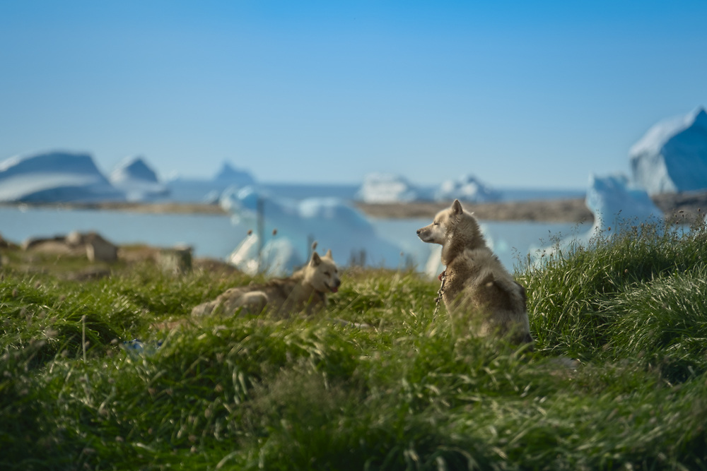 In summer, these dogs are on a well deserved vacation. They don't do any work, only sleep, eat, howl and sometimes make puppies. 