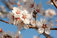 Almond blossom in the Spring at Trinitas Almond Growers, Oakdale, California