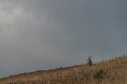 A stag on the hillside  close to the Ardlussa Estate