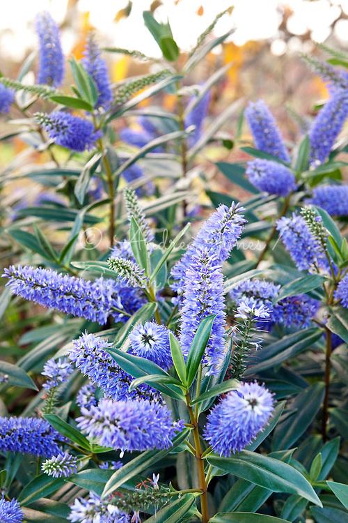 Hebe cv blue flowers