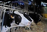 20/05/14 - MARCILLY LE CHATEL - LOIRE - FRANCE - GAEC des Gaulois de la famille Chazal. Vaches au cornadis - Photo Jerome CHABANNE