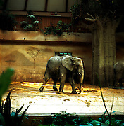 Warsaw Zoo, Poland, 16/12/2009. Elephantidae (Gray, 1821).