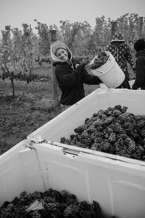 Grape Harvest 2017