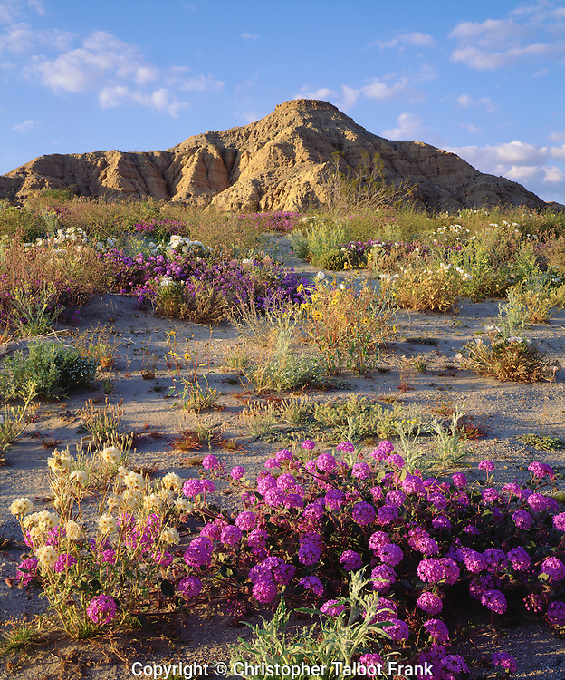 USA; California; San Diego, A mix of Wildflowers in Anza Borrego Desert State Park.