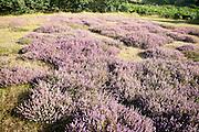 Purple flowering heather plants growing on heathland in summer, Shottisham, Suffolk, England, UK