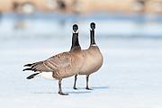 Cackling Geese, Branta hutchinsii, Yukon Delta NWR, Alaska