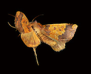 Barred Sallow Xanthia aurago Length 19-21mm. A beautiful moth that rests with its wings spread flat. Adult of typical form has chestnut-brown forewings wings with a central yellow band, and a yellowish head and sides to thorax. In other forms, central band can be much paler. Flies September-October. Larva feeds on Field Maple and Beech. Widespread and common only in central and southern England; largely absent from the west.