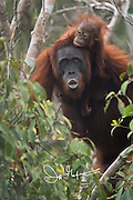 A female adult Bornean orangutan with a child clinging to its back emerges from the forests of Tanjug Puting National Park in Indonesia.