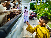 """22 AUGUST 2018 - GEORGE TOWN, PENANG, MALAYSIA:  A child feeds goats destined for ritual sacrifice during Eid al-Adha at Kapitan Keling Mosque in George Town. It is the oldest mosque in George Town. Eid al-Adha, """"Feast of the Sacrifice"""" is the second of two Islamic holidays celebrated worldwide each year. It honors the willingness of Ibrahim (Abraham) to sacrifice his son as an act of obedience to God's command.     PHOTO BY JACK KURTZ"""
