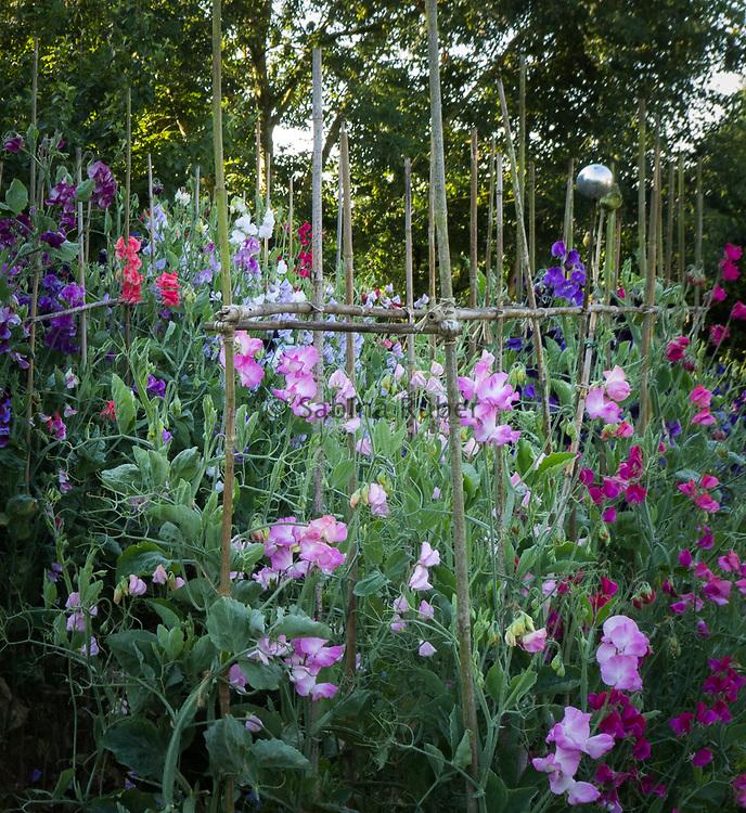 Lathyrus odoratus - sweet peas growing over canes