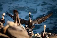 A pelican lands in La Jolla Cove on December 10.