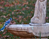 Blue Jay checking out the newly restored bird bath. Autumn Backyard Nature in New Jersey. Image taken with a Fuji X-T2 camera and 100-400 mm OIS telephoto zoom lens (ISO 200, 312 mm, f/5.2, 1/90 sec).