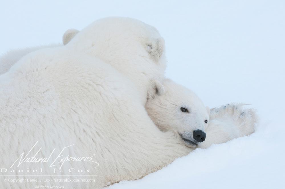 A polar bear (Ursus maritimus) cub takes refuge in its mother arms near Churchill, Manitoba.