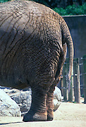 The rear end of an elephant at the zoo.