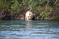 Juvenile Grizzly Bear hunting for Salmon..shot on the Kanektok River, Alaska, USA..