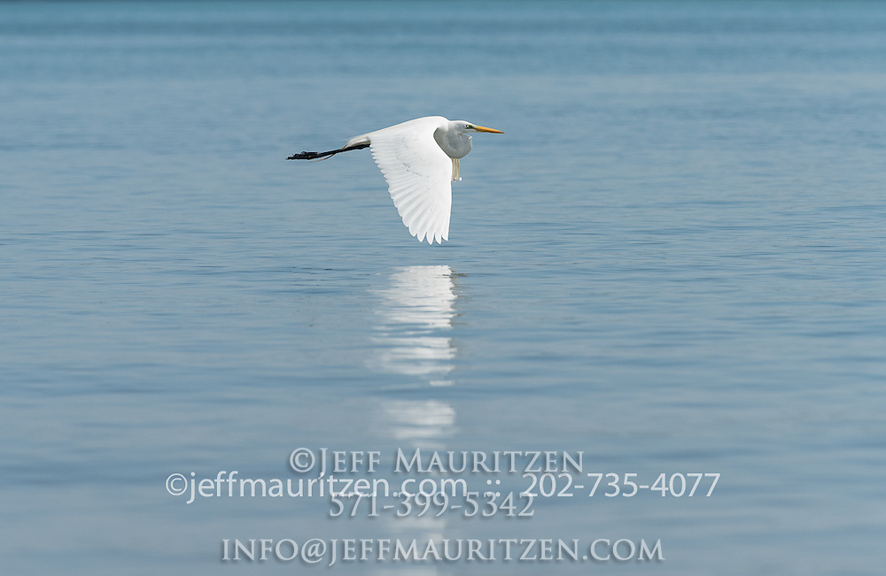 A Great egret takes flight over the blue waters that surround Coiba Island, a UNESCO world heritage site in Panama.
