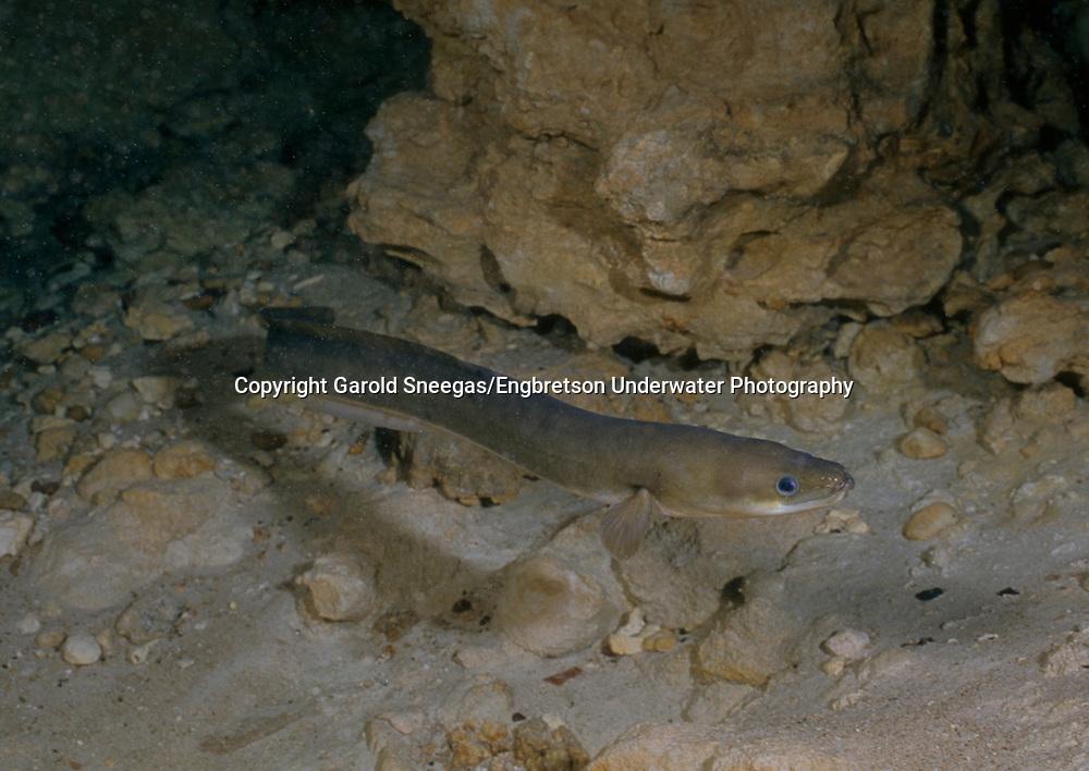 American Eel<br /> <br /> Garold Sneegas/Engbretson Underwater Photography