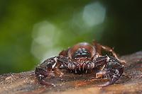 Scorpion, Euscorpius gamma, National Park Djerdab, Serbia