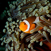 False Clown Anemonefish Amphiprion ocellaris at Lembeh Straits, Indonesia.