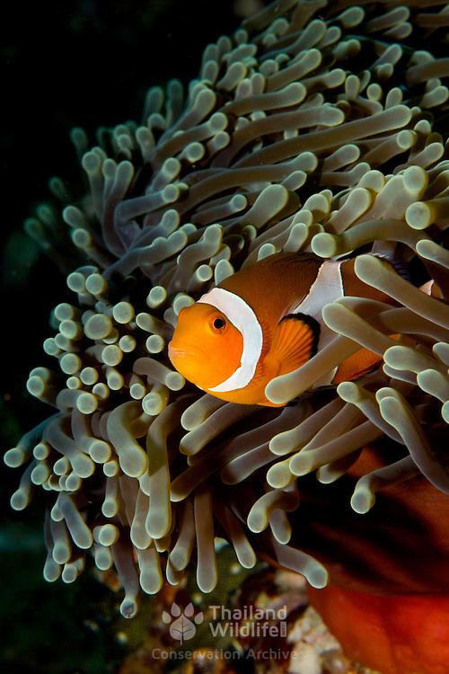 False Clown Anemonefish Amphiprion ocellaris at Lembeh Straits, Indonesia.
