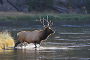 Bull Elk, Elk, Yellowstone National Park, Wyoming