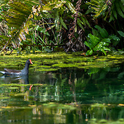 Moorhen within the water channels of Mayakoba, Riviera Maya. Mexico.