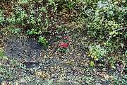 15 November 2017, Pellezzano, district of Salerno City, Southern Italy. Roses on the site where the members of &quot;Salerno 1943&quot; association has found the rests of lance corporal Ronald George Blackham.<br />