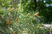 college green, Mapp Athens, summer, Tree Tour, Eastern White Pine